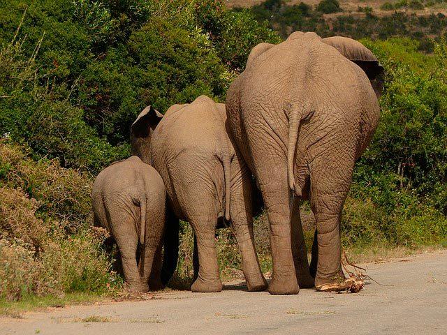 Сколько весят слоны