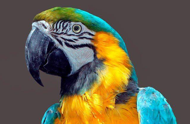 Сколько живет попугай