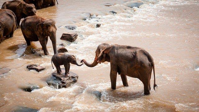 Слоны – стадные животные