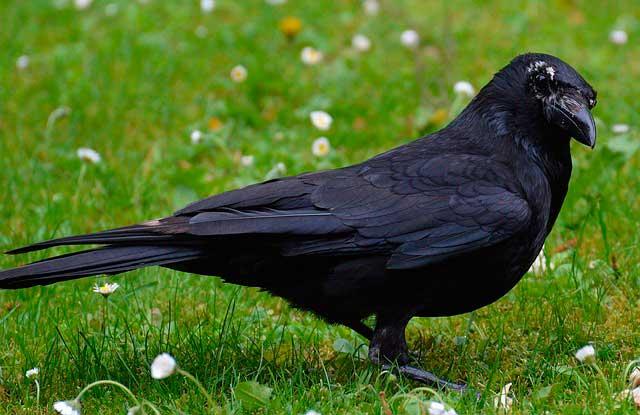 Сколько живет ворон