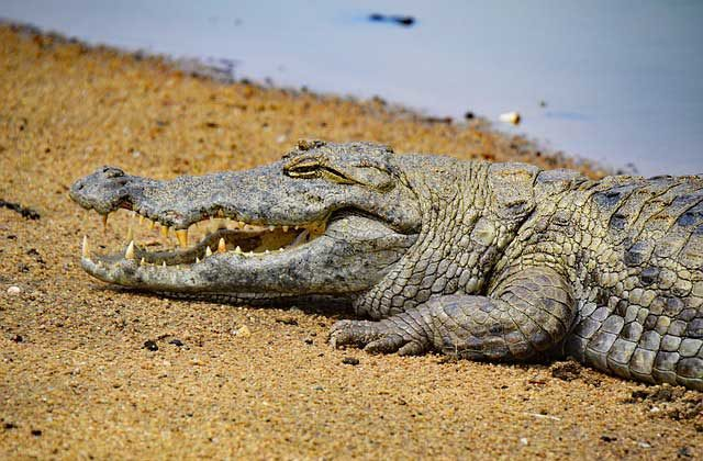 сколько живут крокодилы в среднем