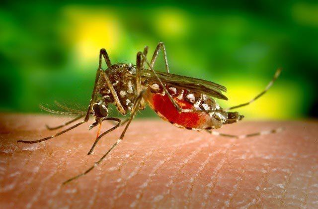 сколько живут комары после укуса человека