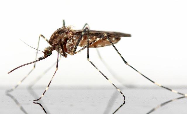 сколько дней живет комар