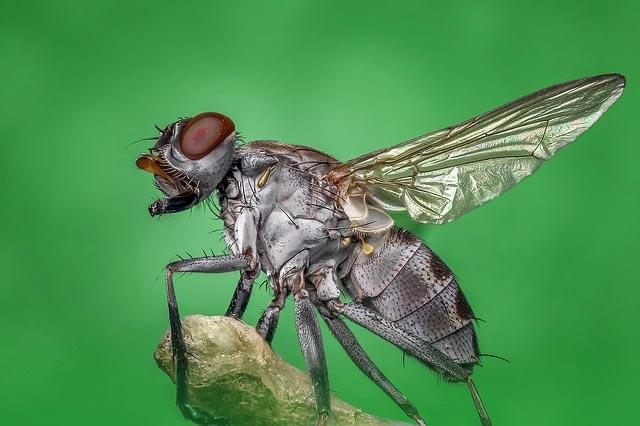 сколько живут мухи в квартире