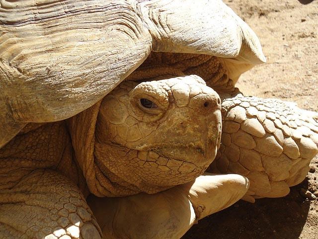 сколько живут сухопутные черепахи в домашних условиях